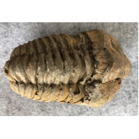 Large trilobite 100 mm