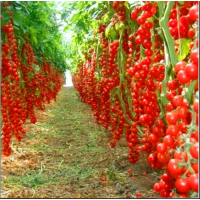 100 PCS Seeds Bonsai Tomato Plants Potted Bonsai Fruit Vegetable Home Garden NEW