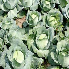 100 Pcs Cabbage