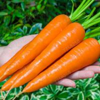 100 pcs per set, carrots